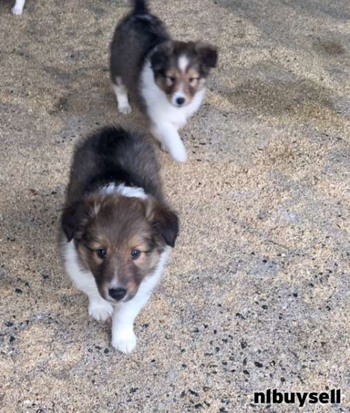 Sheltie Puppies Avail Feb 13 St Marys Nl