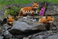 """13X19"" of  ""Fox Kittens in Labrador"""