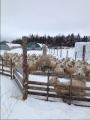 Local raw wool
