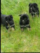 Pets For Sale - Dogs & Puppies - NL Buy Sell