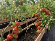 Roots Farm NL Tomatoes