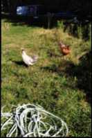 Spitzhauben roosters.  - Photo 1 of 5
