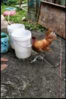 Spitzhauben roosters.  - Photo 4 of 5