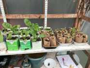 Swiss Chard plants
